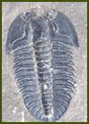 Giganotosaurus Carolini - Neuquén