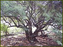 Árbol de la Vida  San Luis